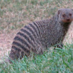 Banded_Mongoose