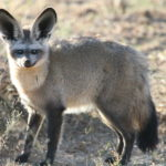 Bat eared fox 2