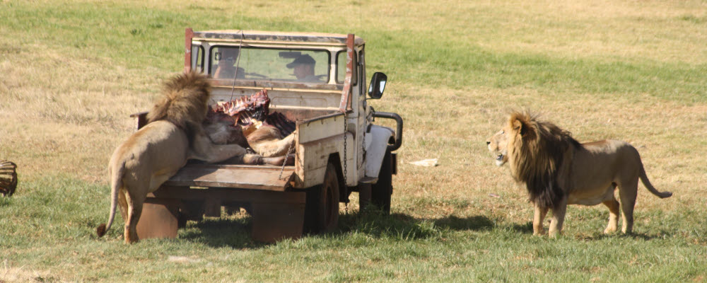 Lion Feed Lion on bakkie