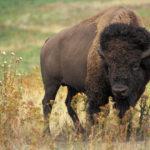 american-bison-rhino-lion-nature-reserve