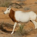 scimitar-horned-oryx-rhino-lion-nature-reserve